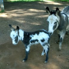 Dark Spotted Foal