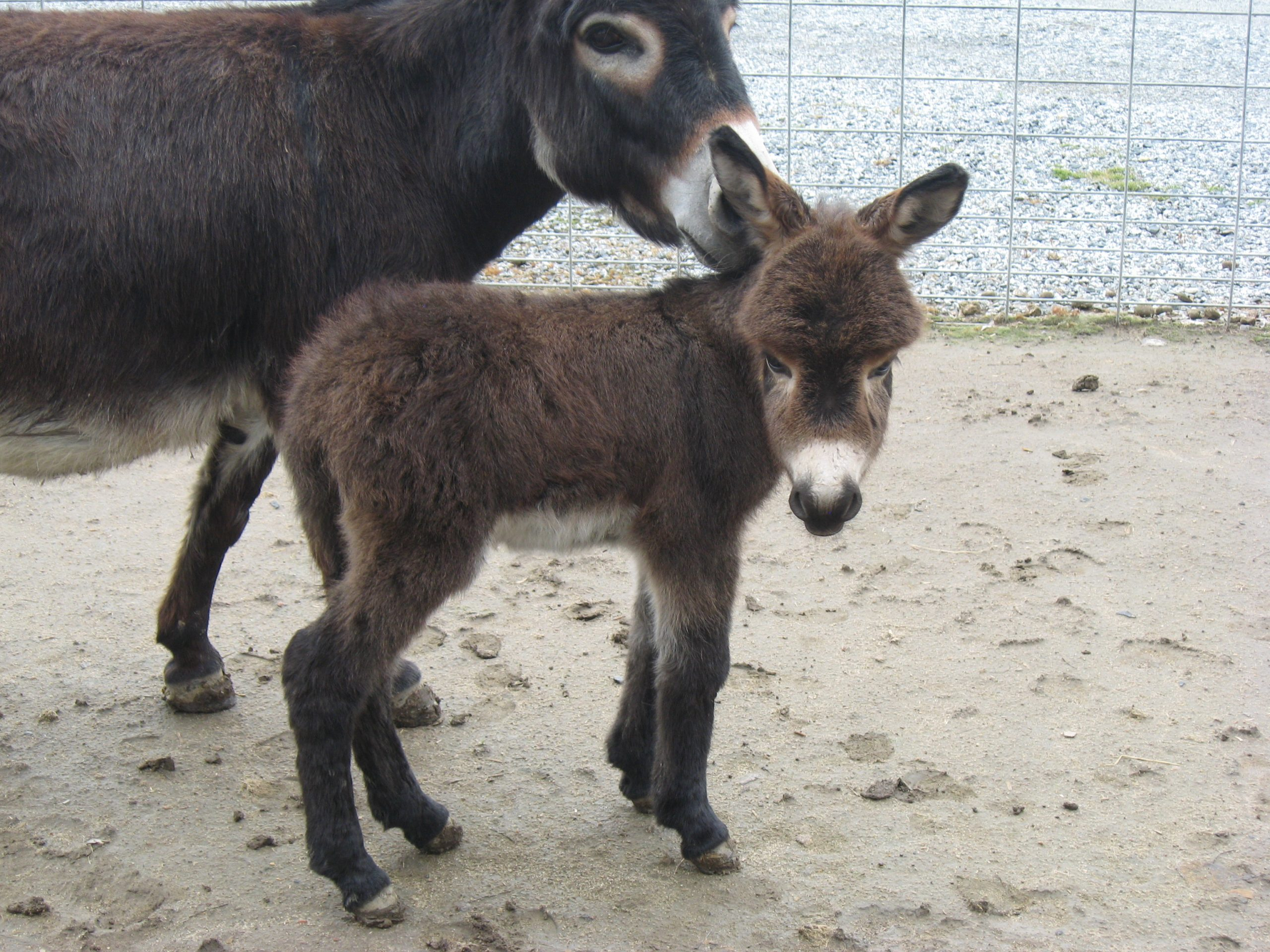 Du Plessis donkey jack foal