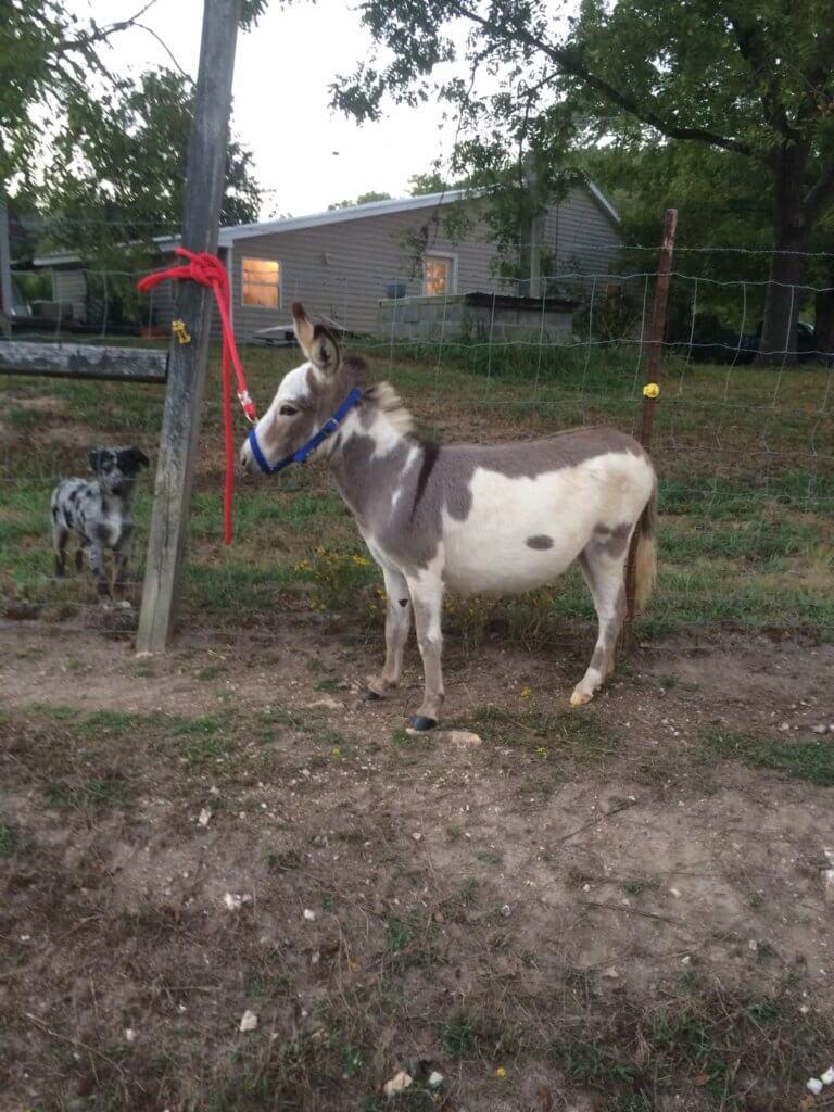 presswood miniature donkey 4