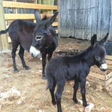 presswood miniature donkey2