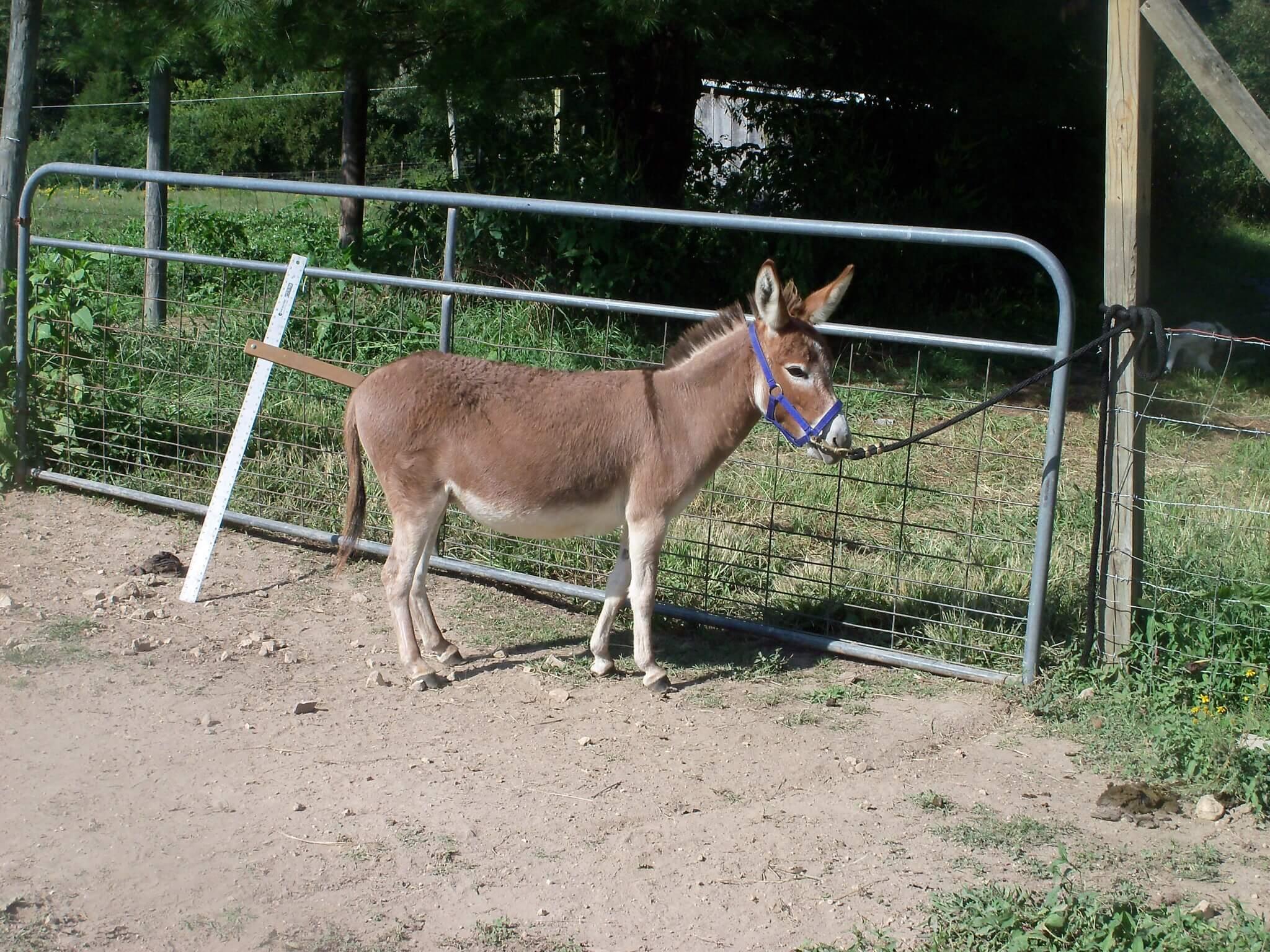 presswood miniature donkey 3