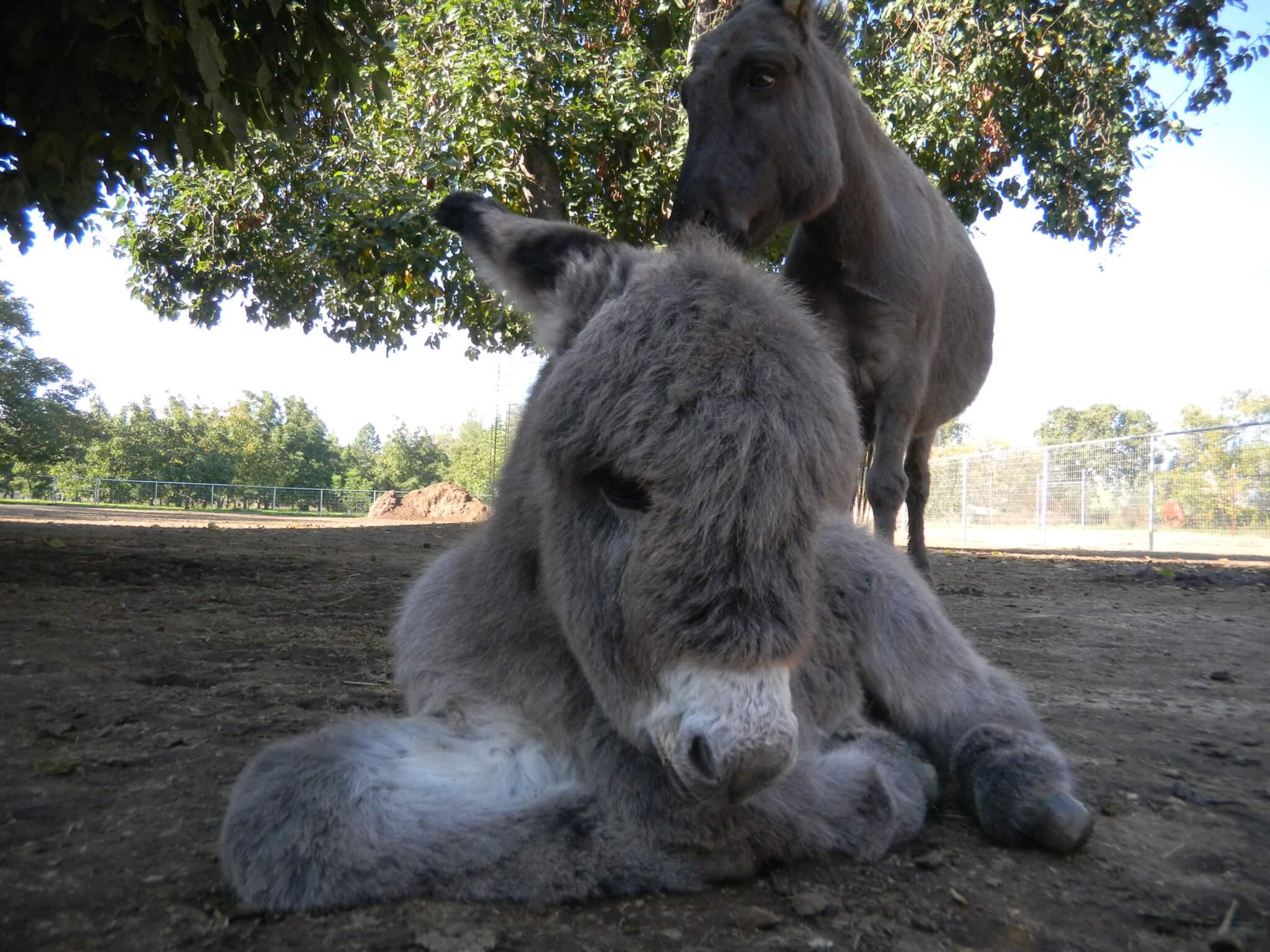 Gails Donkey under fig tree
