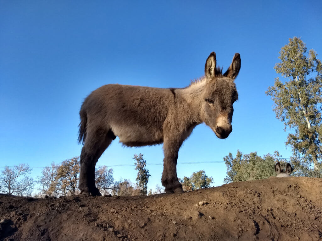 Gail's Josef on the hill miniature donkey