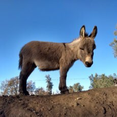 Gail's Josef on the hill miniature donkey