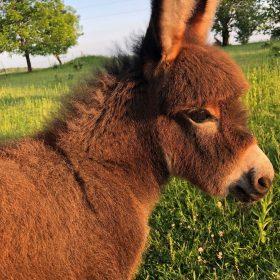Browse Miniature Donkey Ads – Gotdonkeys Miniature Donkey