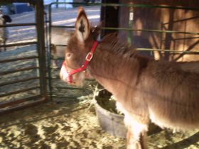 Wanted younger mini donkey as a friend for mine