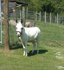 Spotted Miniature Donkey Gelding