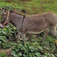 Miniature Donkeys available for sale