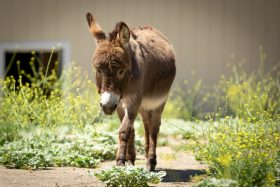 Miniature Donkey For Sale!!