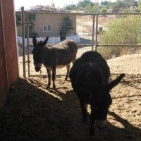 Selling Pair of Donkeys