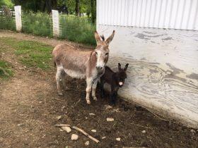 Super cute gray jack foal! Reserve him now!
