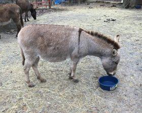 Miniature donkey jennies for pets