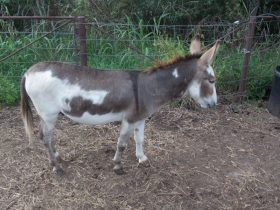 ADMS Registered Spotted Herd Sire Mini Jack Great Price!